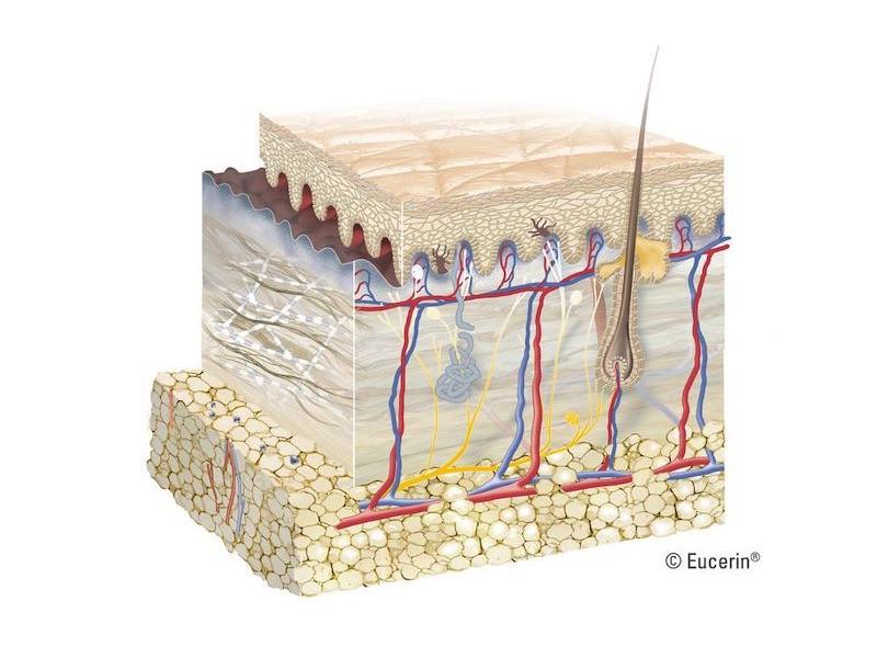 Cấu trúc da 3 lớp: biểu bì, hạ bì và mô dưới da