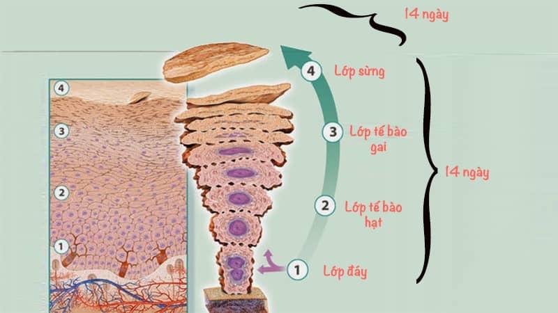 Quá trình sừng hoá tế bào